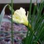 Narcissus_romieuxii_2015