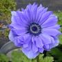 Peaceful. (Anemone x hybrida (Japanese anemone))