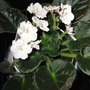 White ruffed African Violet