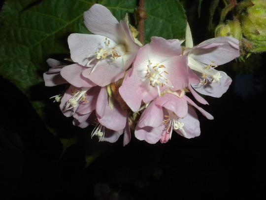Dombeya wallichii - Tropical Hydrangea or Pink Ball Tree (Dombeya wallichii - Tropical Hydrangea or Pink Ball Tree)