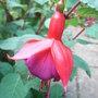Fuchsia_-_4.jpg (Fuchsia)