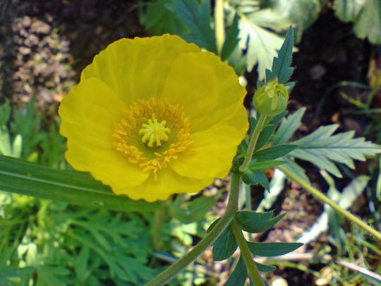 Yellow Poppy Images Yellow Arctic Poppy Papaver
