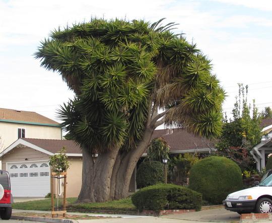 Giant Yucca. (Yucca elephantipes (Giant yucca))