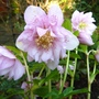 Single_jan._2._hellebores_p1260127