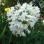 Agapanthus_white