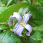 Clematis heraclefolia