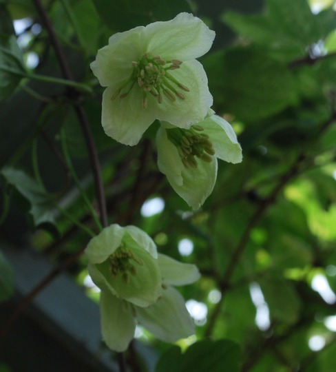 Clematis Wisley cream...or possibly Jingle bells! (Clematis cirrhosa (Clematis) Wisley Cream..)