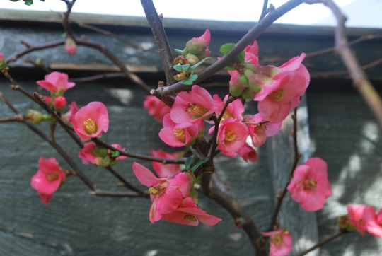 Quince...hope I shall get some fruit this year!! (Chaenomeles speciosa (Flowering quince)Pink)