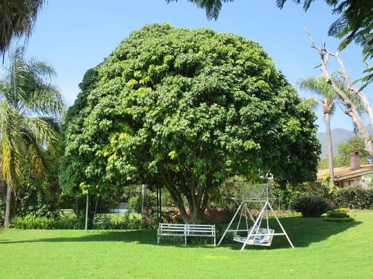 Lychee tree (Litchi chinensis)