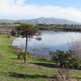 Auracaria angustifolia at Quarry Lakes Union City ca. (Araucaria angustifolia (Brazilian Araucaria))