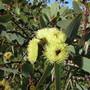Eugenia. (Eugenia brasiliensis (Brazil Cherry))