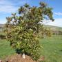 Not sure. Macadamia? (Macadamia integrifolia (Macadamia Nut))