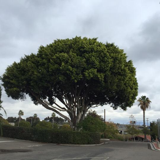 Ficus retusa  - Cuban Laurel Tree (Ficus retusa  - Cuban Laurel Tree)