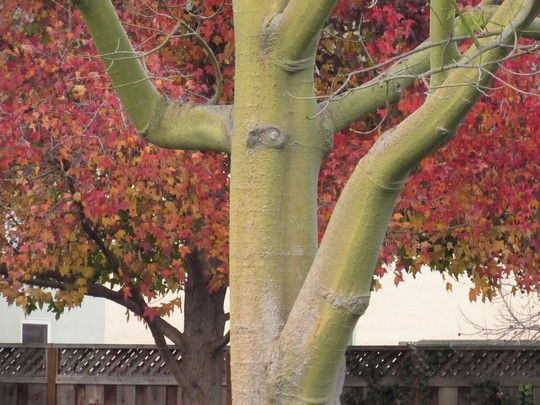 Silk Floss and Liquidamber tree (Chorisia speciosa (Floss Silk Tree))