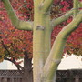 Silk Floss and Liquidamber tree (Chorisia speciosa (Floss Silk Tree))