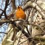 The robin in full song ... up in the silver birch tree ...