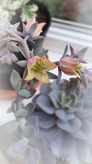 Succulent flowering in conservatory..