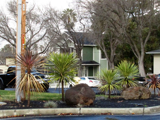 Cordylines and black mulch. (Cordylines,Torquay Dazzler and Red Star.)