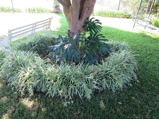Chlorophytum comosum (spider plant) (Chlorophytum comosum)