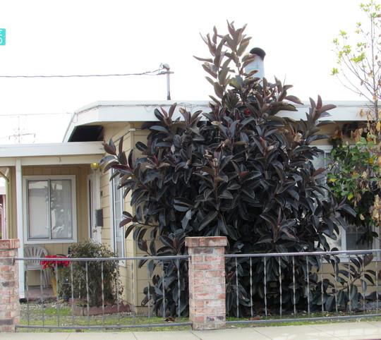 """Black Ficus elastica. (Ficus elastica """"Decora"""")"""