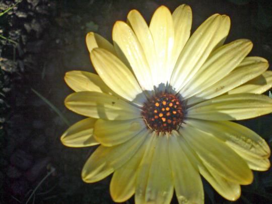 Osteospermum jucundum 'Buttermilk'