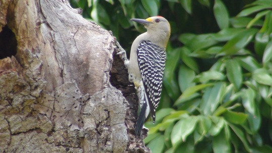 Gila woodpecker-Melanerpes uropygialis