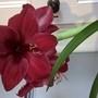 Amaryllis Black Pearl