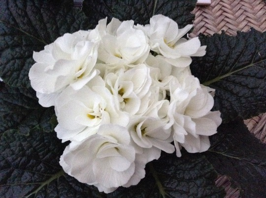 Another primula that 'asked me nicely to buy it!