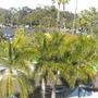 Roystonea regia - Royal Palms at San Diego Zoo (Roystonea regia - Royal Palms)