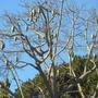 Chorisia (Ceiba) speciosa - Kapok Tree (Chorisia (Ceiba) speciosa - Kapok Tree)