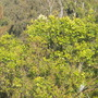 Eucalyptus deglupta - Rainbow Gum or Eucalyptus