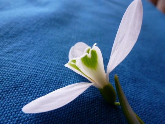 Galanthus Atkinsii .2