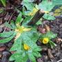 Eranthis cilicia (Eranthis cilicica)