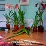 Amaryllis Anglo-American hybrid fallen over on living room table 29-01-2016 002 (Amaryllis)