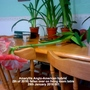 Amaryllis Anglo-American hybrid (5th of 2016) fallen over on living room table 29-01-2016 001 (Amaryllis)