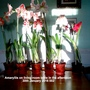 Amaryllis on living room table in the afternoon 30-01-2016 002 (Amaryllis Hippeastrum)