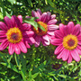 hot pink marguerite