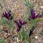 Iris 'J S Dijt' - 2016 (Iris reticulata)