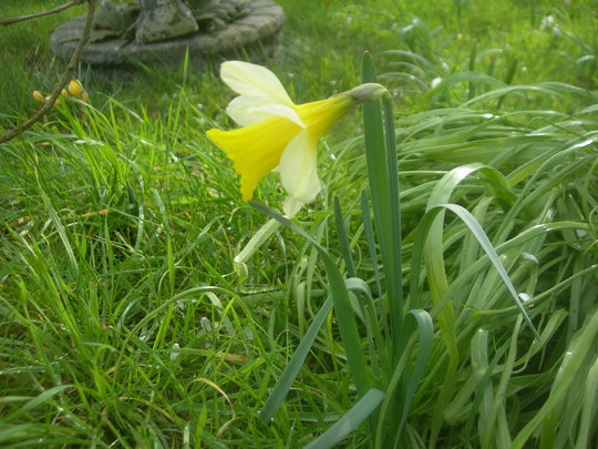 Narcissus lobularis (Narcissus pseudonarcissus (Daffodil))
