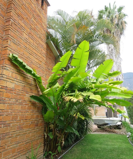Large leaves of Heliconia on east side of the house (Heliconia)