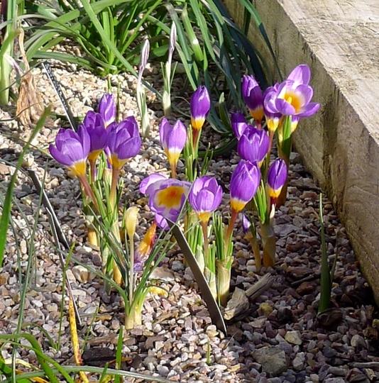 Crocus sieberi ssp sublimis 'Tricolor' (Crocus sieberi)