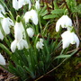 Double Snowdrops (galanthus)
