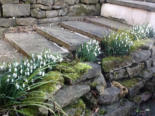 The snowdrops by the pond are coming out further. (Galanthus elwesii (Snowdrop))