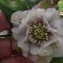 Double Hellebore (Helleborus orientalis (Lenten rose))