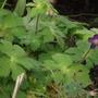 Geranium Phaeum (Geranium phaeum (Mourning widow))