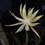 Epiphyllum 'Golden Charms' (Epiphyllum 'Golden Charms')