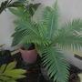 Blechnum gibbum - Fiji Tree Fern (Blechnum gibbum - Fiji Tree Fern)