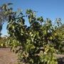 Ficus benghalensis - Indian Banyan Tree