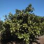 Ficus trichopoda - Hippo Fig (Ficus trichopoda - Hippo Fig)