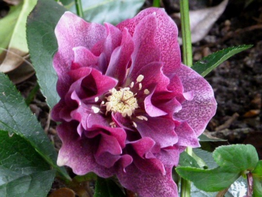 Helleborus ..   Double Queen mixed